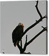 Looking Up To Bald Eagle's Acrylic Print