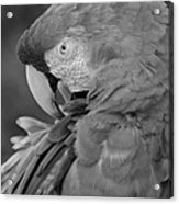 Macaws Of Color B W 17 Acrylic Print