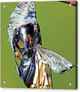 Malachite Butterfly Metamorphosis Acrylic Print