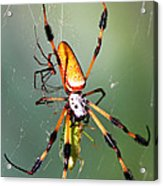 Male And Female Silk Spiders With Prey Acrylic Print