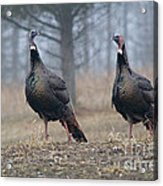 Male Eastern Wild Turkeys Acrylic Print by Linda Freshwaters Arndt