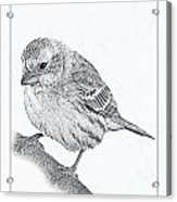 Male House Finch Sketch  Acrylic Print
