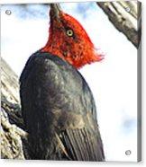 Male Magellanic Woodpecker Acrylic Print