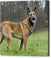Malinois, Belgian Shepherd Dog Acrylic Print