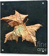 Maple Leaf Acrylic Print