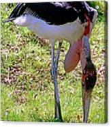 Marabou Stork Acrylic Print