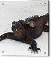 Marine Iguana Galapagos Acrylic Print