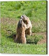 Marmots Acrylic Print