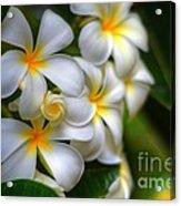 Maui Plumerias Acrylic Print