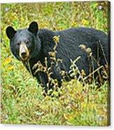 Meadow Black Bear Acrylic Print