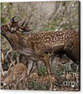 Mesopotamian Fallow Deer 3 Acrylic Print