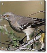 Mocking Bird With Ripe Hackberry Acrylic Print