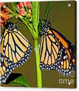 Monarch Butterflies Acrylic Print