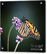 Monarch Butterfly Acrylic Print by Elena Elisseeva