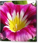Morning Glory Named Red Ensign Acrylic Print