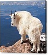 Mountain Goat On Mount Evans Acrylic Print