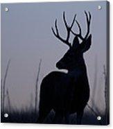 Mule Deer Buck At Sunset Acrylic Print