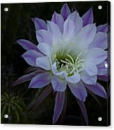 Night Blooming Cactus  Acrylic Print
