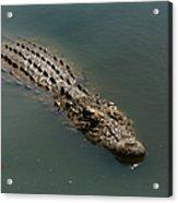 Nile Crocodile  Acrylic Print