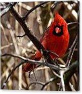 Northern Cardinal Male Acrylic Print