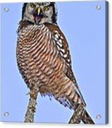 Northern Hawk Owl  Acrylic Print