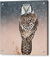 Northern Hawk Owl Acrylic Print