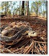 Northern Pine Snake Acrylic Print