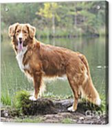 Nova Scotia Duck Tolling Retriever Acrylic Print