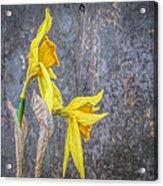 2 Old Daffodils Acrylic Print