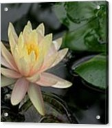 Once A Pond A Water Lily Acrylic Print
