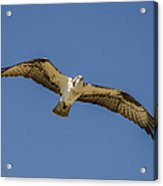 Osprey In Flight Spreading His Wings Acrylic Print