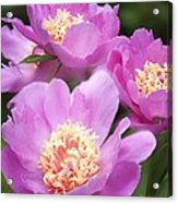 Paeonia Lactiflora 'bowl Of Beauty' Acrylic Print