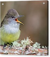 Pale-edged Flycatcher Acrylic Print