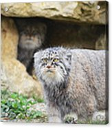 Pallas Cat Acrylic Print