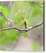 Palm Warbler Acrylic Print