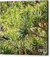 Pandanus Palm Tree Acrylic Print