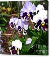 Pansy From The Chalon Supreme Primed Mix Acrylic Print