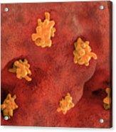 Parasitic Amoeba (entamoeba Histolytica) Invading Intestine Acrylic Print