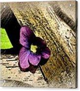 Peeking Violet Acrylic Print