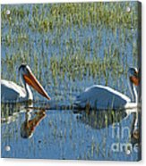 Pelicans In Hayden Valley Acrylic Print