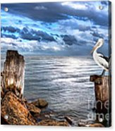 Pelican's Pride Acrylic Print by Shannon Rogers