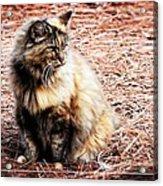 Pine Needle Kitty Acrylic Print