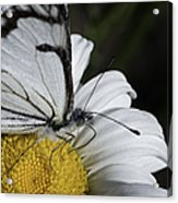 Pine White Butterfly Acrylic Print