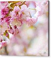 Pink Cherry Blossoms  Acrylic Print