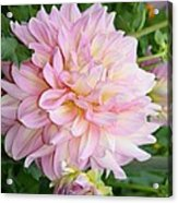 Pink Pleasure Acrylic Print