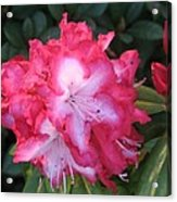 Pink Rhododendron Acrylic Print