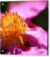 Pink Rockrose Acrylic Print