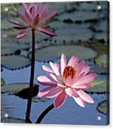 Pink Water Lily In The Spotlight Acrylic Print