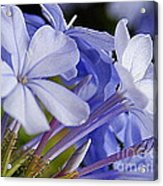 Plumbago Summer Solstice In New Orleans Louisiana Acrylic Print