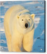 Polar Bear (ursus Maritimus Acrylic Print